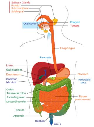 image of human organs